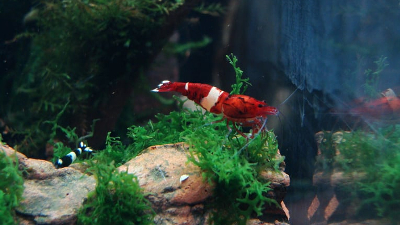 Taiwan Bee - Red Ruby Shrimp