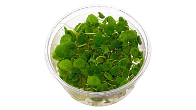 Hydrocotyle verticilata XXL cup (12cm) in-vitro plant available in www.aquaview.ie