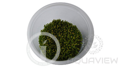 Rotala sp. Pearl S cup